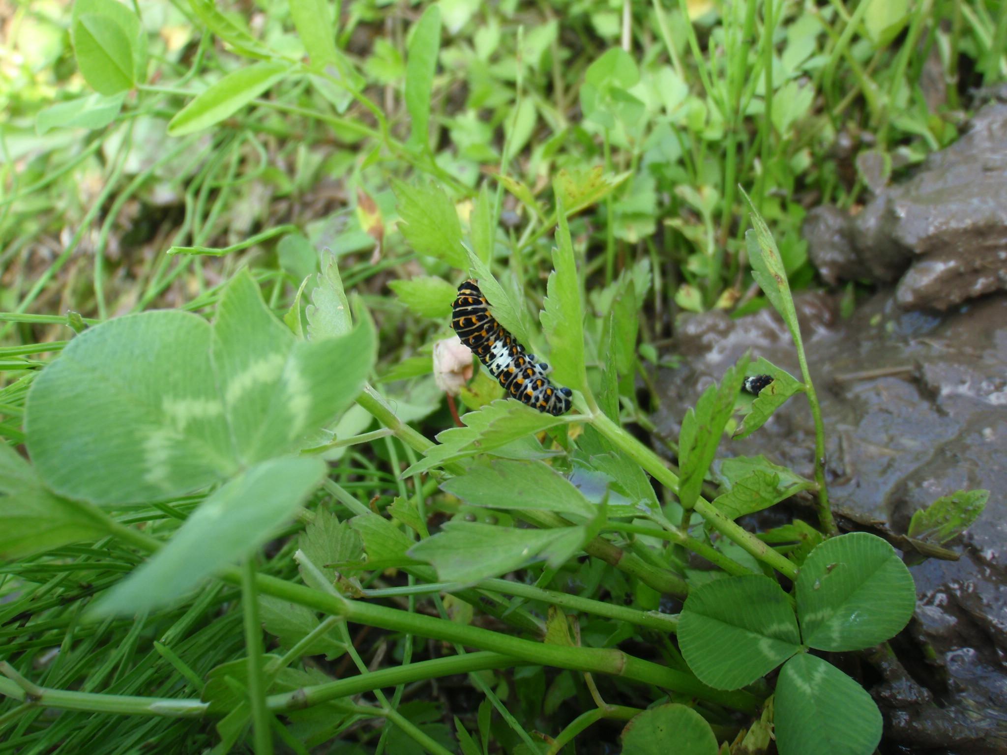8月 アゲハの幼虫