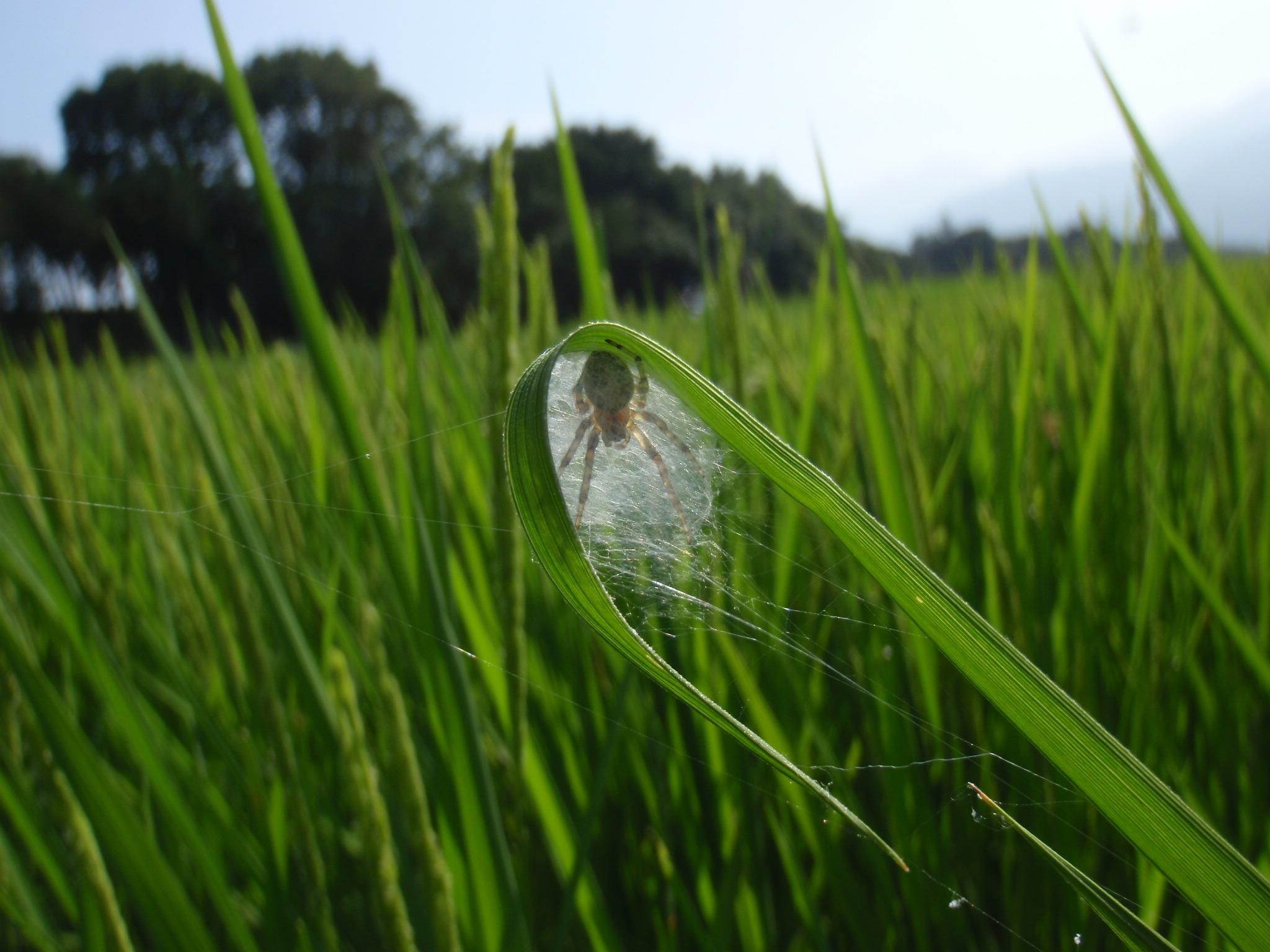 8月 巣の中のクモ