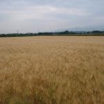 小麦 の研究で硬くなりにくいパン