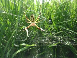 8月 獲物を待つクモ