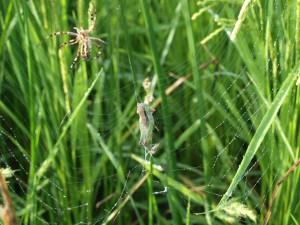 8月 イナゴを捕獲したクモ