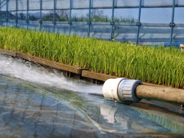 育苗中の水管理