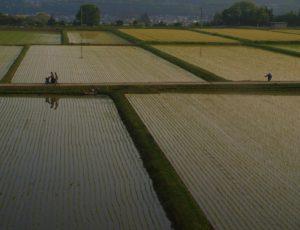 早朝の田んぼの水見