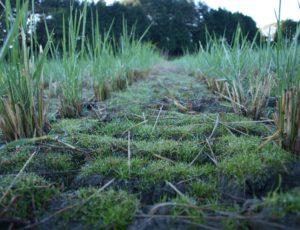 稲刈り後の不耕起田
